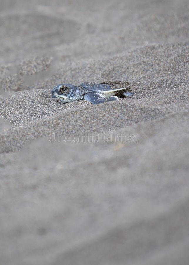 Baby Green Sea Turtle Chelonia mydas. Spotted outdoors royalty free stock images