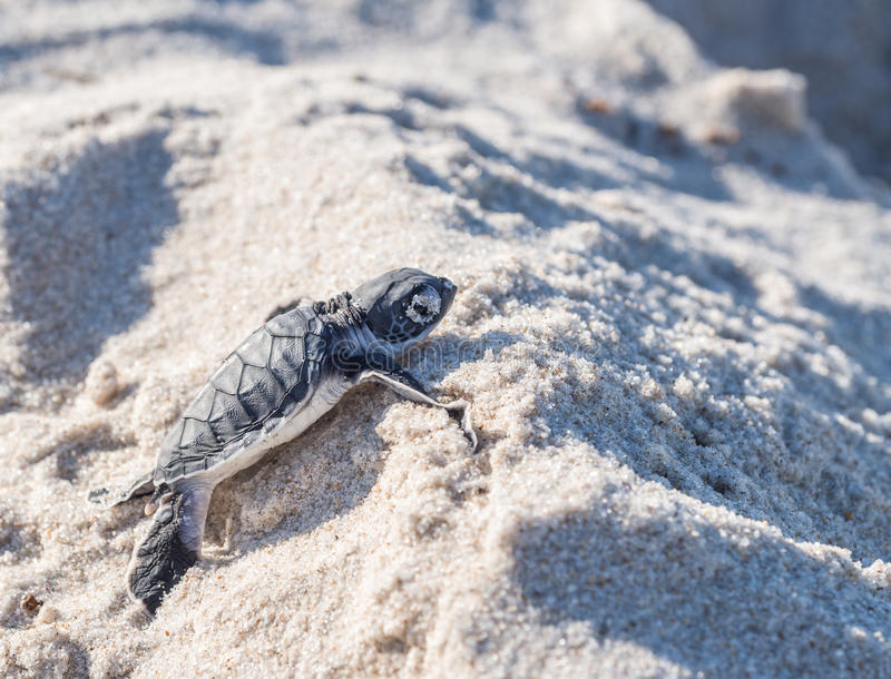 Baby green sea turtle. Small green sea turtle (Chelonia mydas), also known as black (sea) turtle, or Pacific green turtle on his way to the sea on a beach in royalty free stock photography