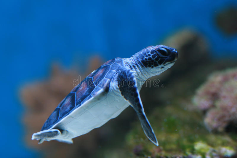 Baby Green turtle royalty free stock image