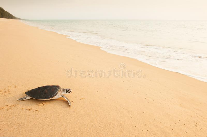Baby Green Turtle stock photo