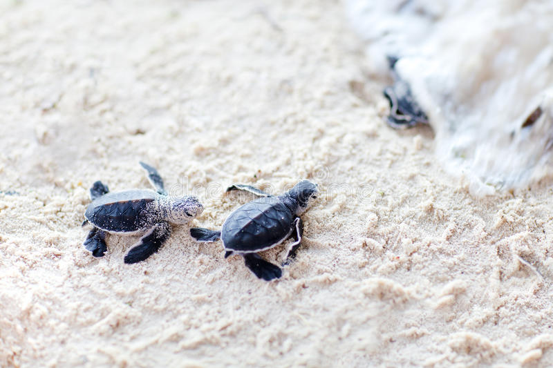 Baby green turtles royalty free stock photography
