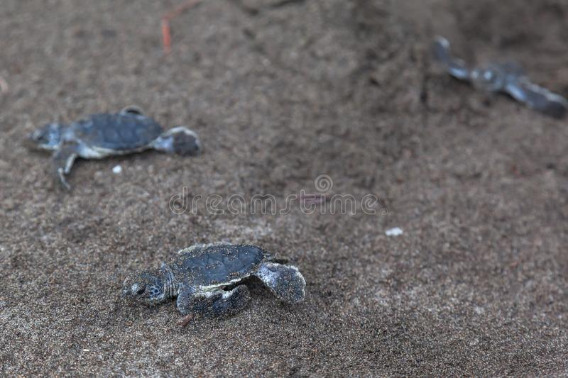 Baby green turtles on the beach in Costa Rica stock images