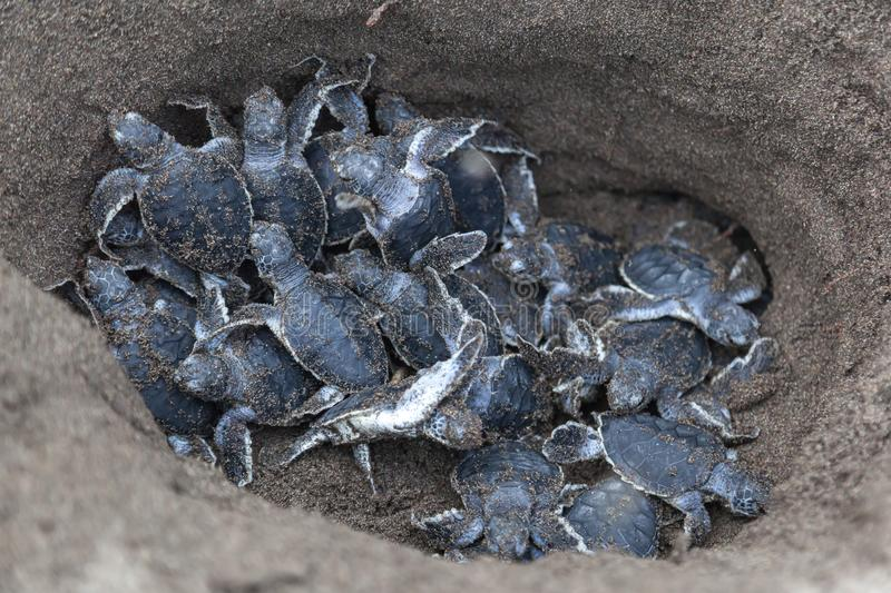 Baby green turtles on the beach in Costa Rica stock photos