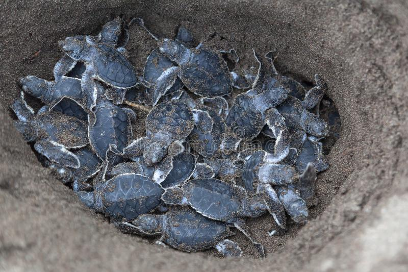 Baby green turtles on the beach in Costa Rica stock photography