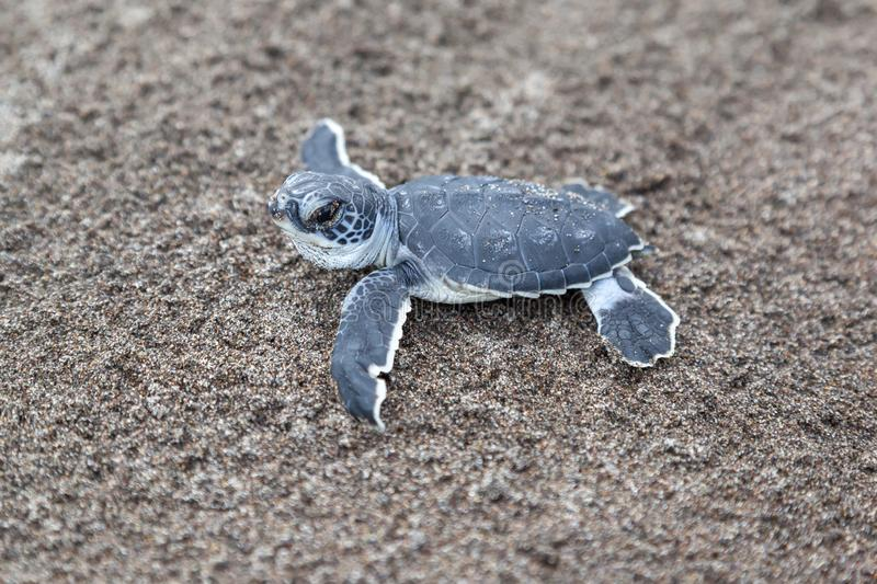 Baby green turtles on the beach in Costa Rica royalty free stock photo