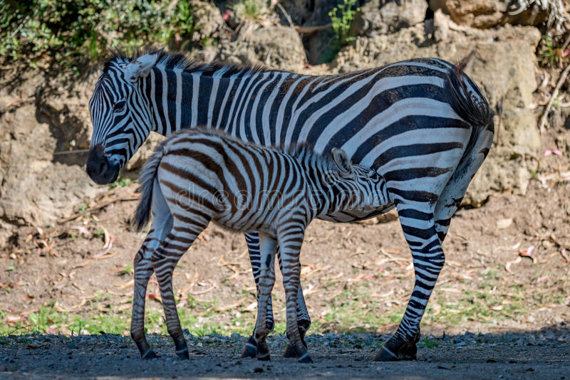 Baby Grevy zebra drinking milk from mother royalty free stock photos