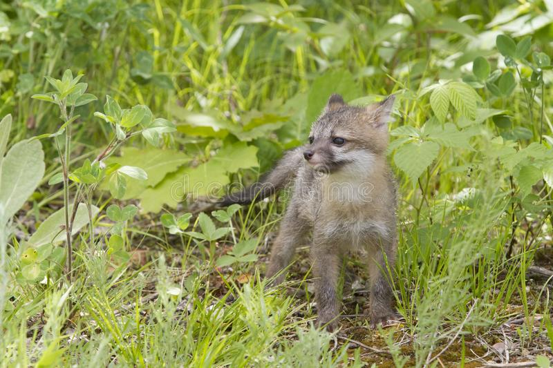 Baby Grey Fox stock photos
