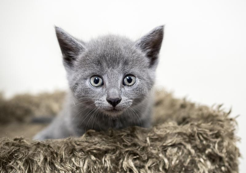Grey baby kitten stock photos