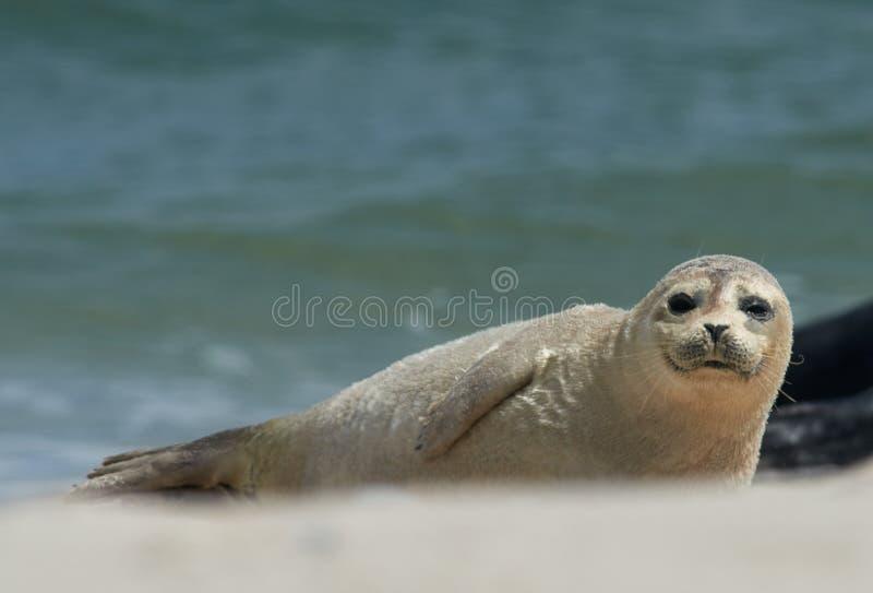 Baby grijze verbinding die zich vooruit bij het strand bij duin bewegen, helgoland, Duitsland royalty-vrije stock foto's