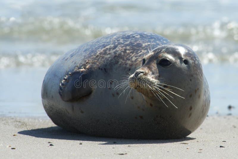 Baby grijze verbinding die zich vooruit bij het strand bij duin bewegen, helgoland, Duitsland royalty-vrije stock afbeeldingen