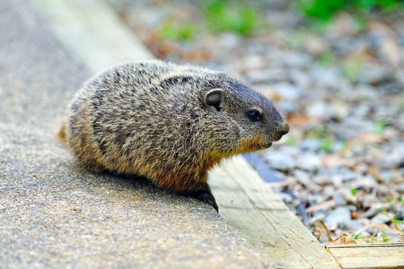 Baby Groundhog stock foto's