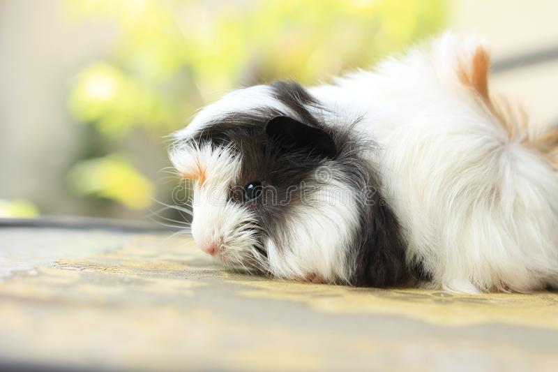 Baby guinea pig royalty free stock image