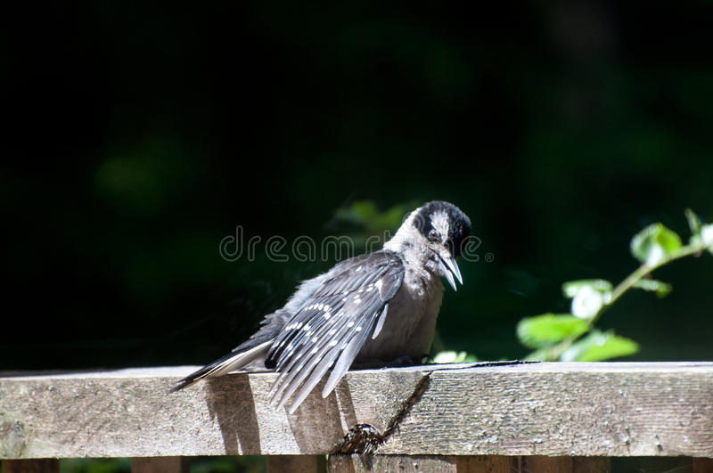 Baby hairy woodpecker dendrocopos villosus royalty free stock image