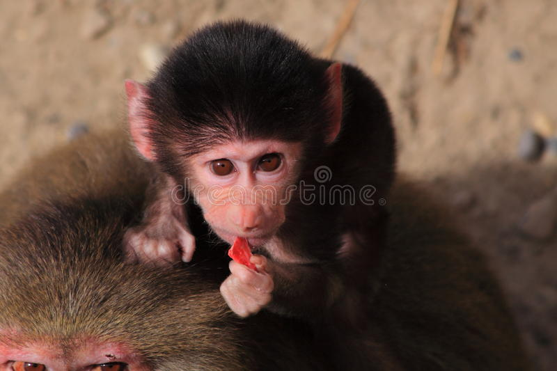 Baby hamadryas baboon eating royalty free stock photo