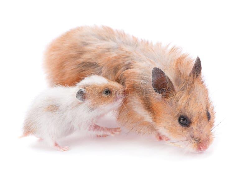 Baby hamster stock photo