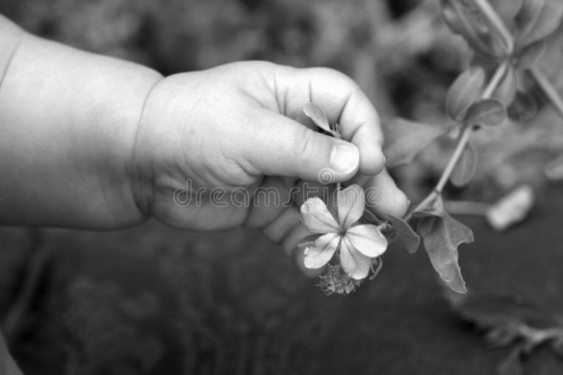 Baby hand touching flower royalty free stock photo