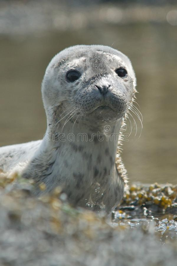 Download Baby Harbor Seal Royalty Free Stock Images - Image: 25293539