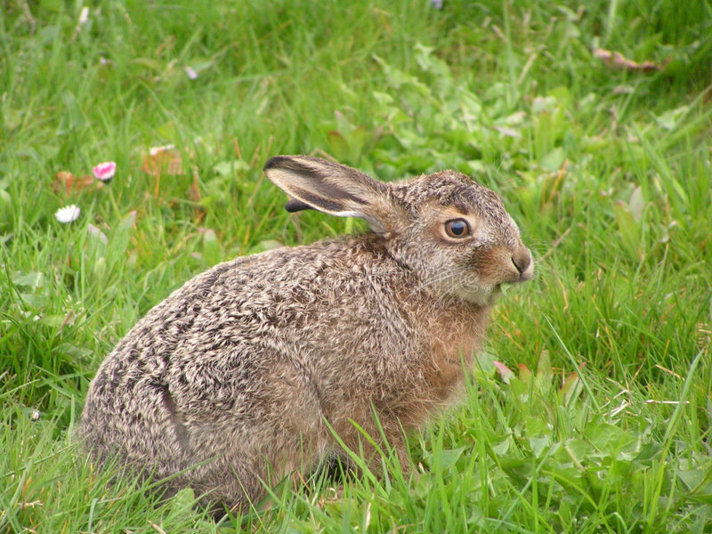 Baby Hare stock photography