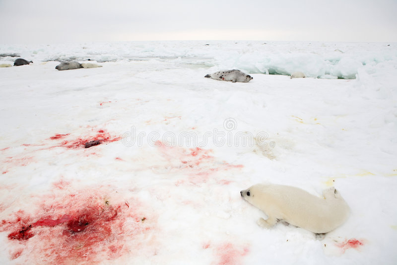 Baby harp seal pup royalty free stock images