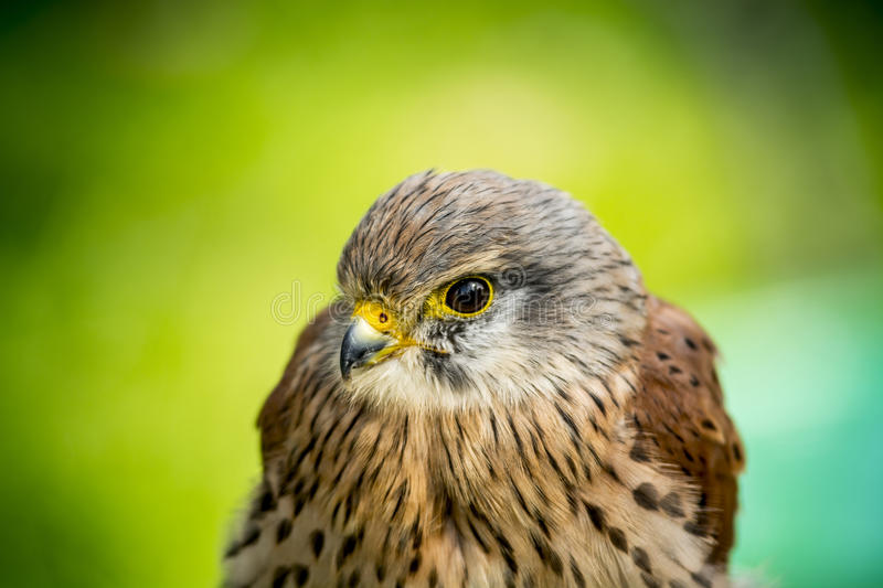 1 253 Baby Hawk Photos Free Royalty Free Stock Photos From Dreamstime