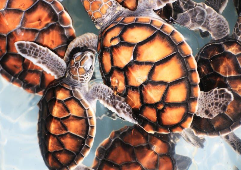 Baby Hawksbill Sea Turtles in Nursery Pool royalty free stock photography