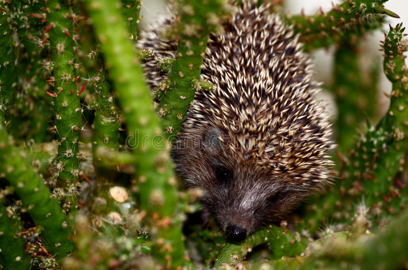 A baby hedgehog. In a green plant background stock photo