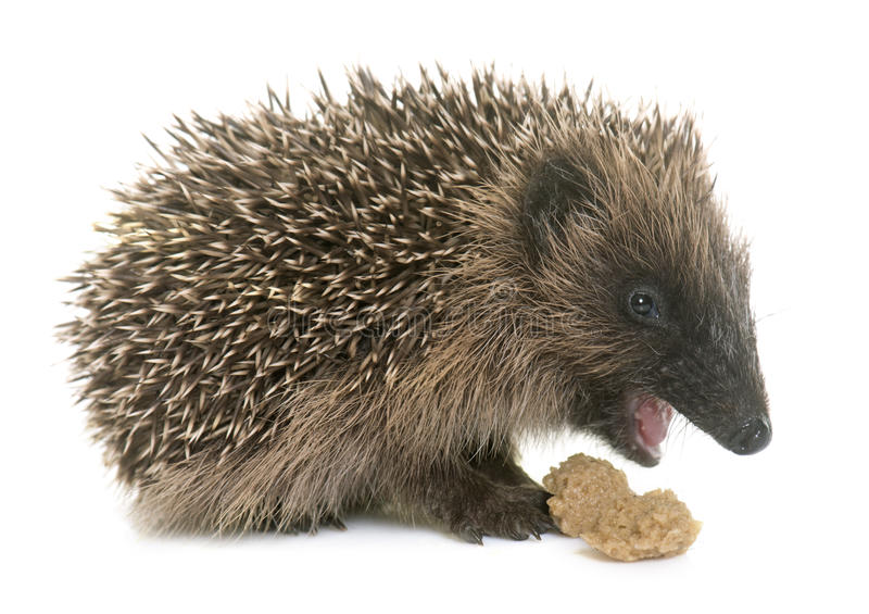 Baby hedgehog eating. In front of white background stock image