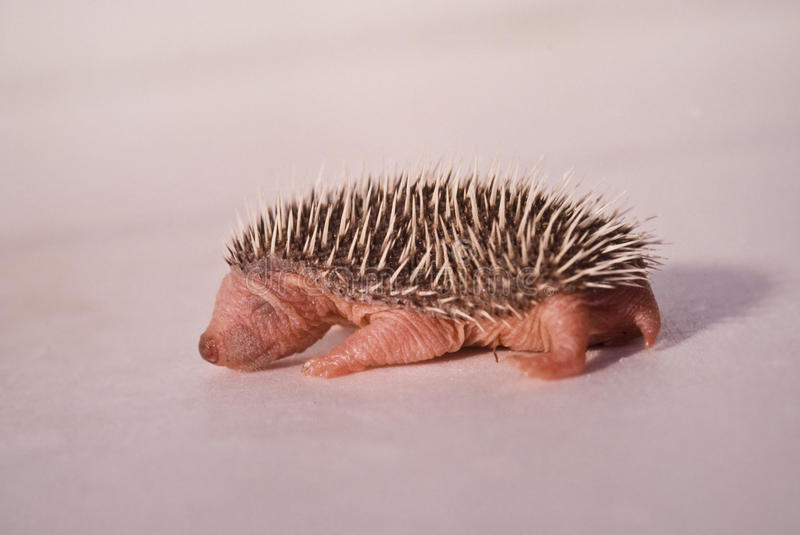 Baby hedgehog 01. Just born baby already has the Hedgehog spines stock image