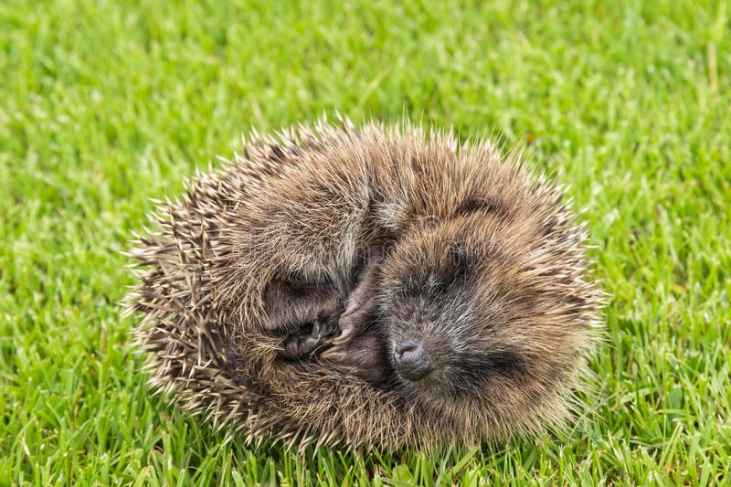 Baby hedgehog rolled up in ball on grass royalty free stock photography