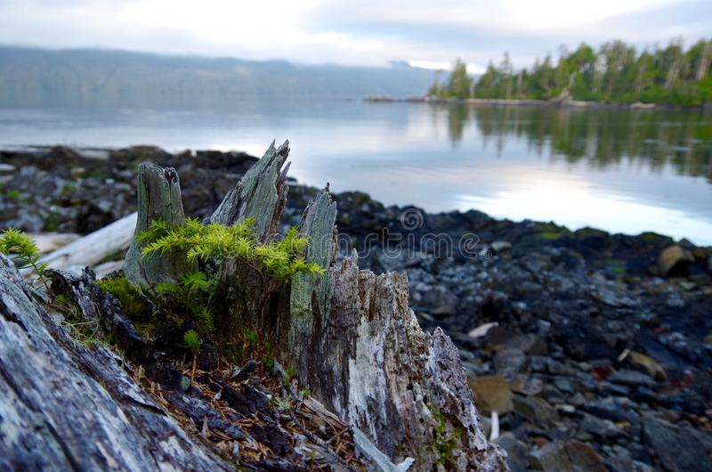 Baby hemlock tree growing from a stump on the shore in the early morning light stock image