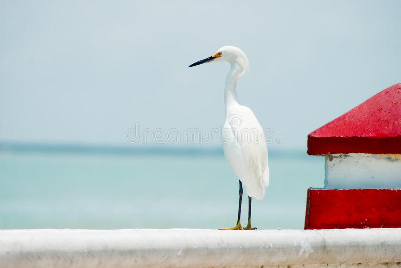 White plumage heron standing facing the ocean royalty free stock photography