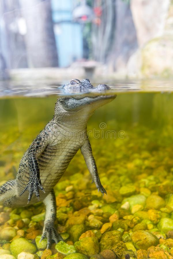 Baby het krokodille dicht omhoog zwemmen in een vijver royalty-vrije stock fotografie