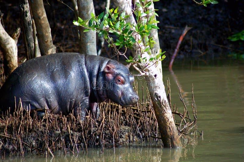 Baby Hippo royalty free stock photo