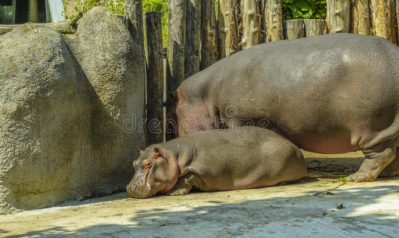 Baby hippo and his mom at zoo stock image