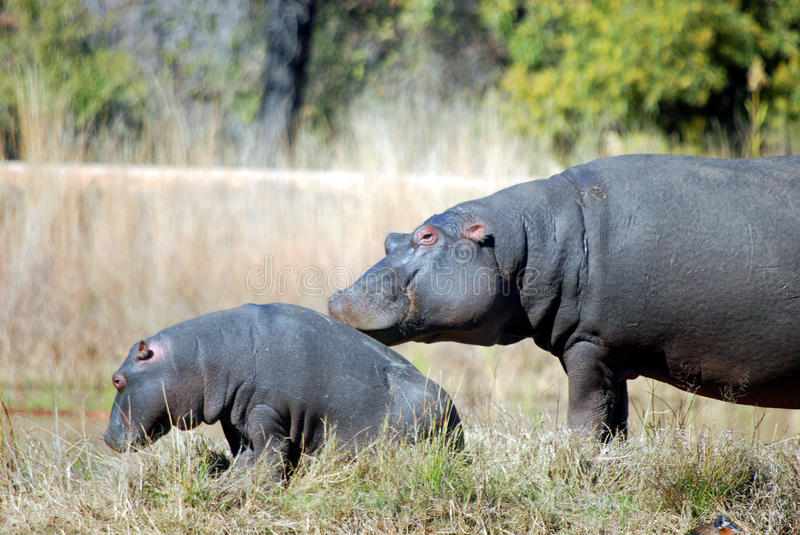 Baby Hippo and Mother. Image of a mother hippo resting her head on her baby hippos back near a watering hole in summer time heat royalty free stock photography