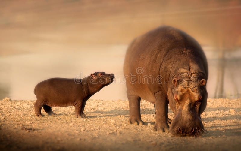 Baby Hippo with mother stock photography