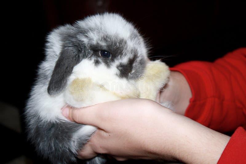 Baby-Holland Lop Bunny Rabbit Broken-Blau-Farbe lizenzfreie stockfotografie