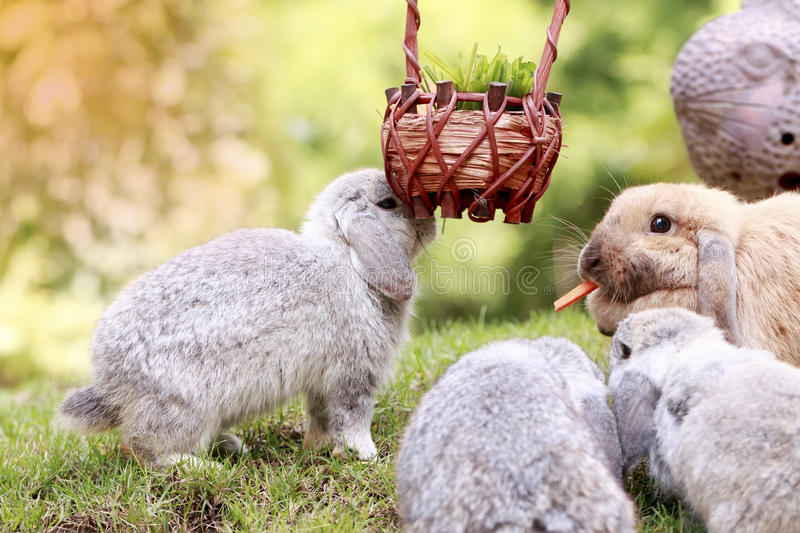 Baby Holland lop rabbit eating in park royalty free stock images