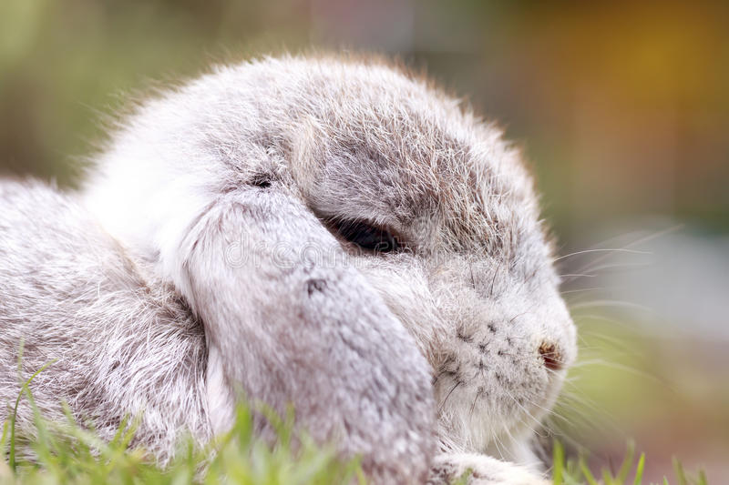 Baby Holland lop rabbit in park royalty free stock images