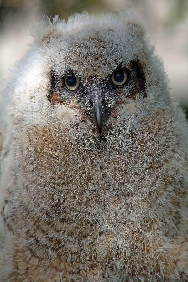 Baby Horned Owl stock image