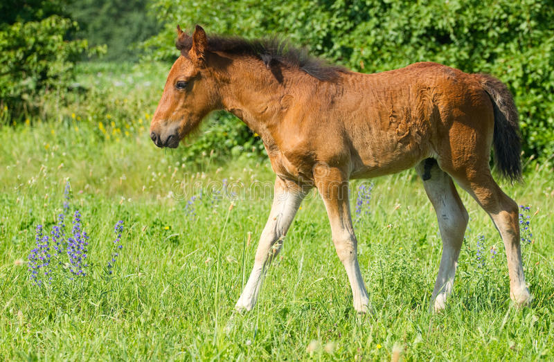 Download Baby horse stock photo. Image of pasture, head, flowers - 25348392