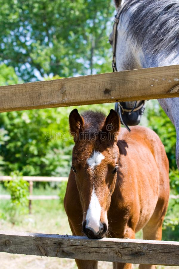 Baby Horse royalty free stock photo