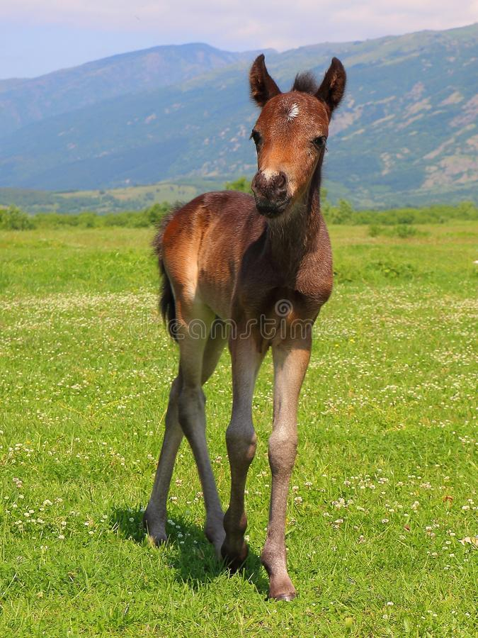 Baby horse running royalty free stock photography