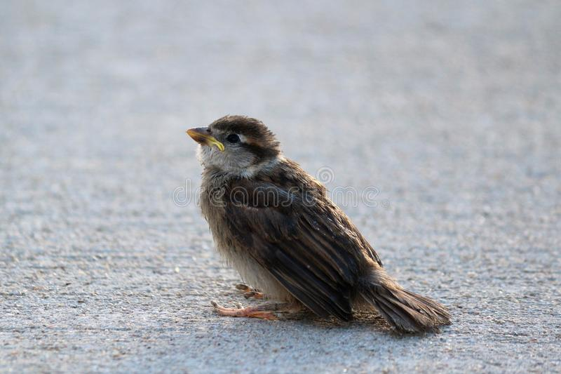 Baby House Sparrow stock image