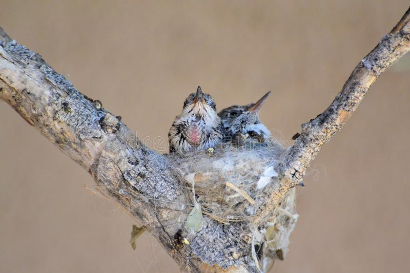 Baby Hummingbirds stock images