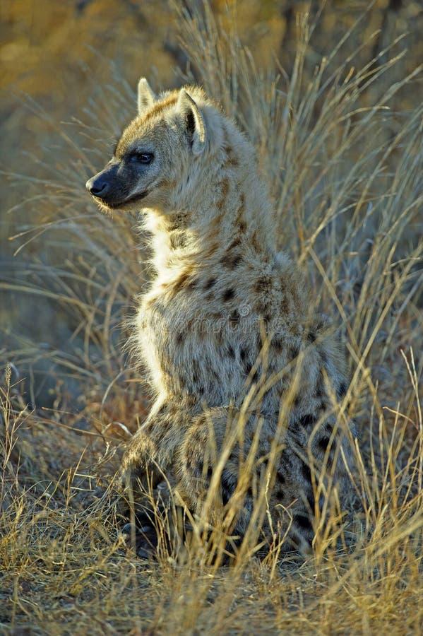 Download Baby Hyena stock photo. Image of wildlife, cute, carnivore - 20938986