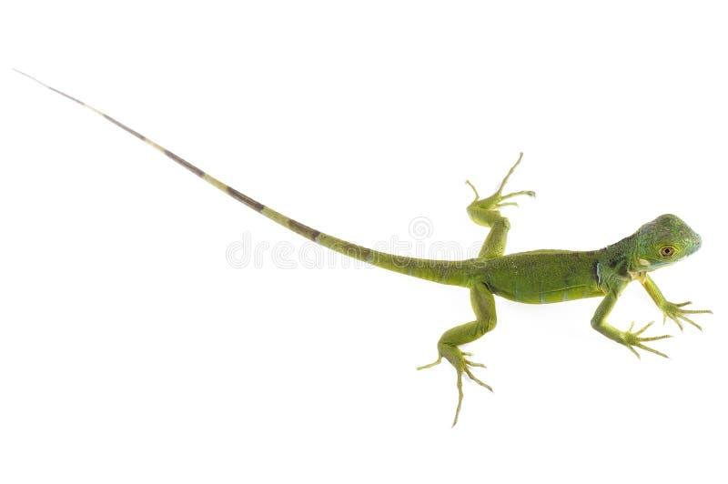 Baby Iguana royalty free stock photography