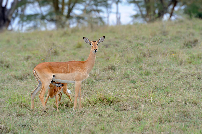 Baby impala with his mother stock photos