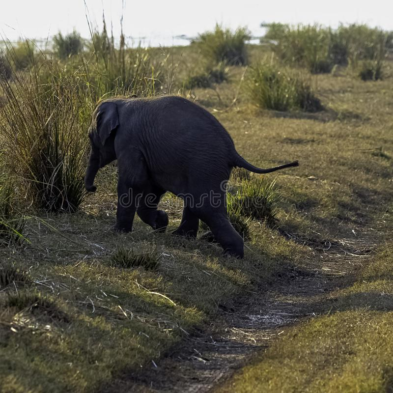 Baby Indian elephant in Jim Corbett National Park, India royalty free stock image