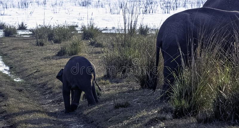 Baby Indian elephant with Ramganga Reservoir in background - Jim Corbett National Park, India stock images